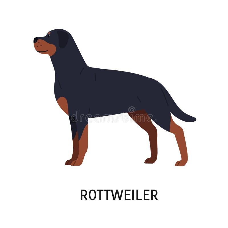 rottweiler Herrlicher Funktions- oder Wächterhund lokalisiert auf weißem Hintergrund Entzückendes reinrassiges Haustier oder Haus lizenzfreie abbildung