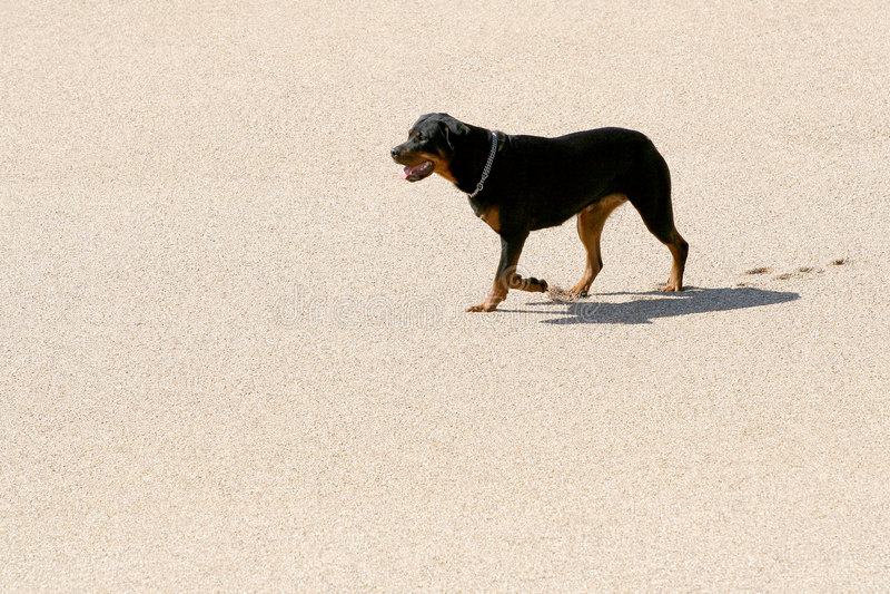 Rottweiler in het zand royalty-vrije stock fotografie