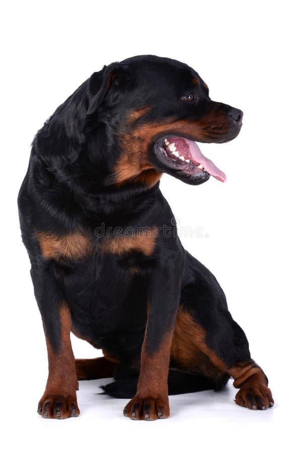 Rottweiler hund royaltyfria foton