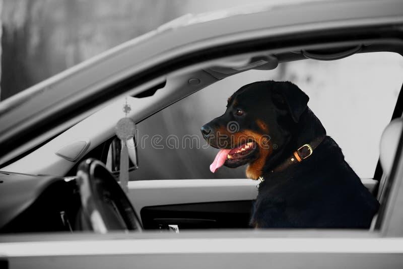 Rottweiler Hund stockfotos