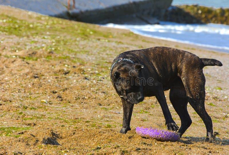 Download Rottweiler-Hund Auf Dem Sand Durch Das Meer Spielt Mit Einem Spielzeug Stockbild - Bild von glück, nave: 96933367