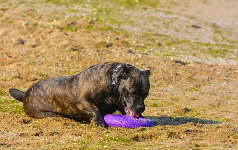 Download Rottweiler-Hund Auf Dem Sand Durch Das Meer Spielt Mit Einem Spielzeug Stockbild - Bild von freiheit, farbe: 96933513