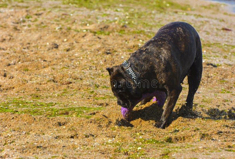 Download Rottweiler-Hund Auf Dem Sand Durch Das Meer Spielt Mit Einem Spielzeug Stockbild - Bild von küstenlinie, hunde: 96933707