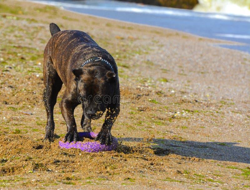 Download Rottweiler-Hund Auf Dem Sand Durch Das Meer Spielt Mit Einem Spielzeug Stockfoto - Bild von draußen, jagen: 96933986
