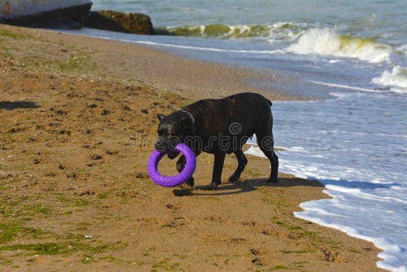 Download Rottweiler-Hund Auf Dem Sand Durch Das Meer Spielt Mit Einem Spielzeug Stockbild - Bild von tatze, freundlich: 96934627