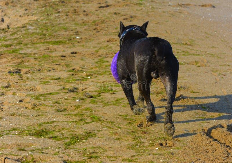 Download Rottweiler-Hund Auf Dem Sand Durch Das Meer Spielt Mit Einem Spielzeug Stockbild - Bild von inländisch, hunde: 96934645