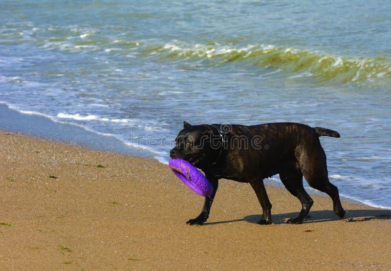 Download Rottweiler-Hund Auf Dem Sand Durch Das Meer Spielt Mit Einem Spielzeug Stockfoto - Bild von tätigkeit, schwarzes: 96934728
