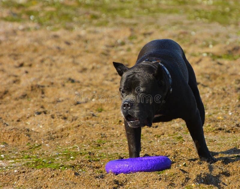Download Rottweiler-Hund Auf Dem Sand Durch Das Meer Spielt Mit Einem Spielzeug Stockfoto - Bild von nave, tiere: 96934788