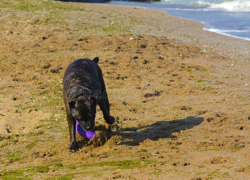 Download Rottweiler-Hund Auf Dem Sand Durch Das Meer Spielt Mit Einem Spielzeug Stockfoto - Bild von freude, hitze: 96934960