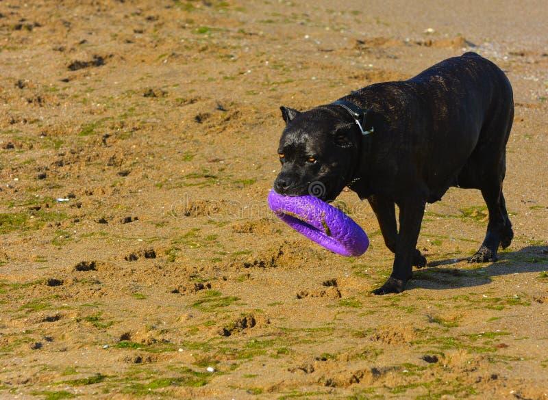 Download Rottweiler-Hund Auf Dem Sand Durch Das Meer Spielt Mit Einem Spielzeug Stockbild - Bild von hitze, freiheit: 96934971