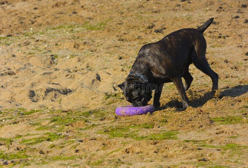 Download Rottweiler-Hund Auf Dem Sand Durch Das Meer Spielt Mit Einem Spielzeug Stockbild - Bild von freundlich, küstenlinie: 96935005