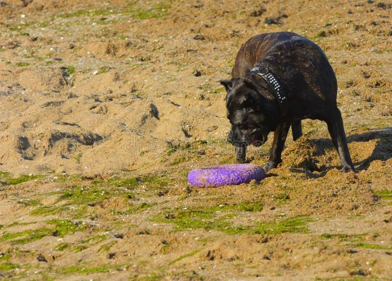 Download Rottweiler-Hund Auf Dem Sand Durch Das Meer Spielt Mit Einem Spielzeug Stockbild - Bild von beweglichkeit, bewegung: 96935037