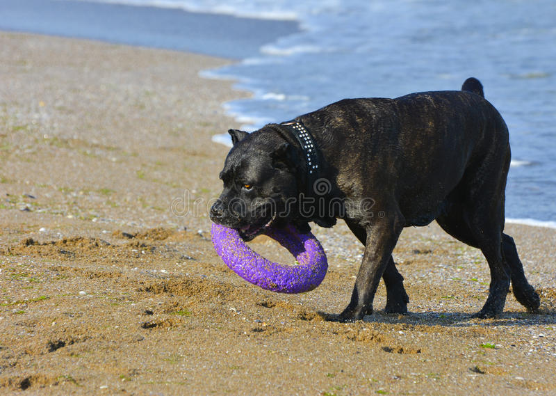 Download Rottweiler-Hund Auf Dem Sand Durch Das Meer Spielt Mit Einem Spielzeug Stockfoto - Bild von tiere, abdruck: 96935110