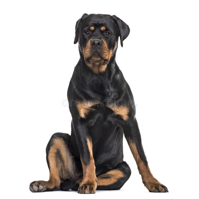 Rottweiler-Hund, der gegen weißen Hintergrund sitzt stockfotografie