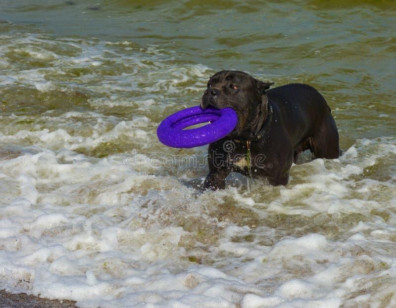 Download Rottweiler-Hund Im Wasser Auf Dem Strand, Der Mit Einem Spielzeug Spielt Stockbild - Bild von schönheit, blau: 96933047