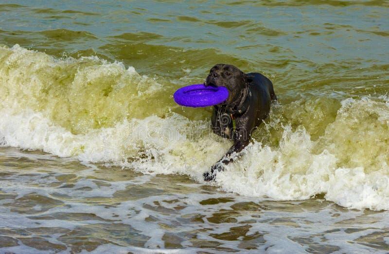 Download Rottweiler-Hund Im Wasser Auf Dem Strand, Der Mit Einem Spielzeug Spielt Stockbild - Bild von blau, graben: 96933051