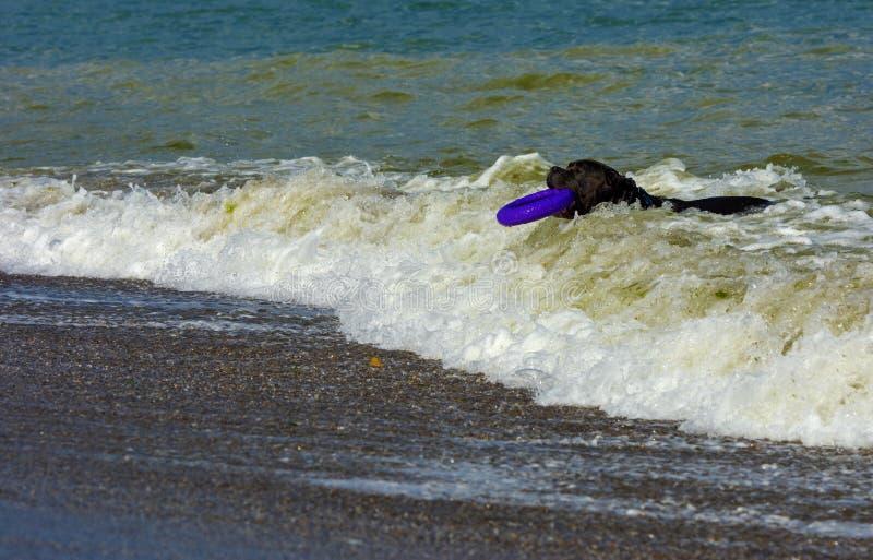 Download Rottweiler-Hund Im Wasser Auf Dem Strand, Der Mit Einem Spielzeug Spielt Stockfoto - Bild von braun, spaß: 96933742