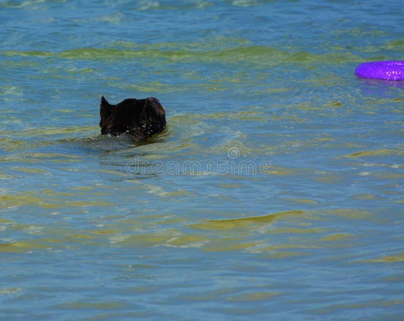 Download Rottweiler-Hund Im Wasser Auf Dem Strand, Der Mit Einem Spielzeug Spielt Stockbild - Bild von schwarzes, tätigkeit: 96933991