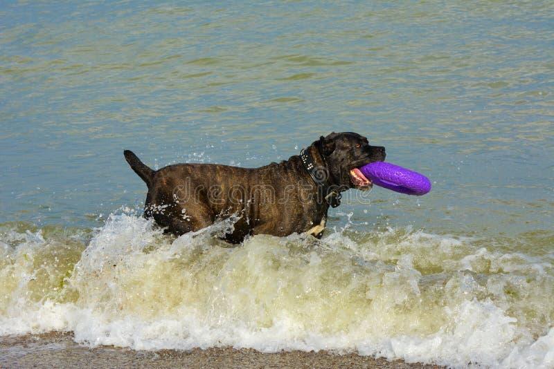 Download Rottweiler-Hund Im Wasser Auf Dem Strand, Der Mit Einem Spielzeug Spielt Stockbild - Bild von leben, tätigkeit: 96934019