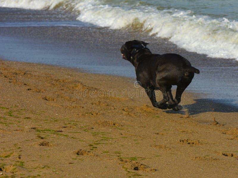 Download Rottweiler-Hund Im Wasser Auf Dem Strand, Der Mit Einem Spielzeug Spielt Stockbild - Bild von inländisch, schönheit: 96934079