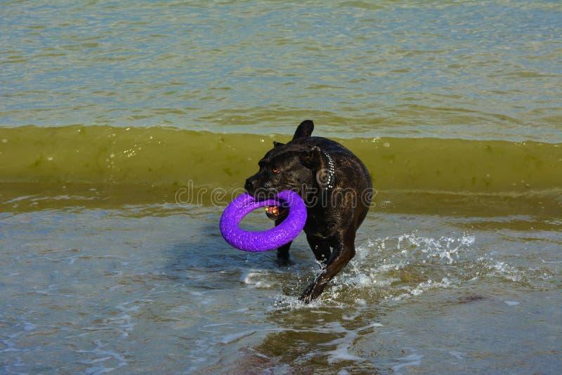Download Rottweiler-Hund Im Wasser Auf Dem Strand, Der Mit Einem Spielzeug Spielt Stockbild - Bild von inländisch, nett: 96934089