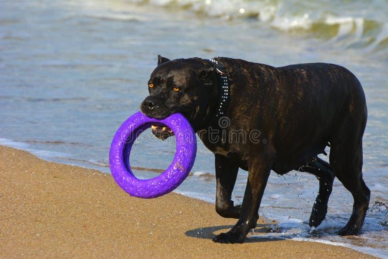 Download Rottweiler-Hund Im Wasser Auf Dem Strand, Der Mit Einem Spielzeug Spielt Stockbild - Bild von strände, freiheit: 96934163