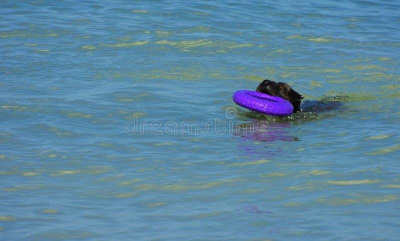 Download Rottweiler-Hund Im Wasser Auf Dem Strand, Der Mit Einem Spielzeug Spielt Stockbild - Bild von freundschaft, leben: 96934169