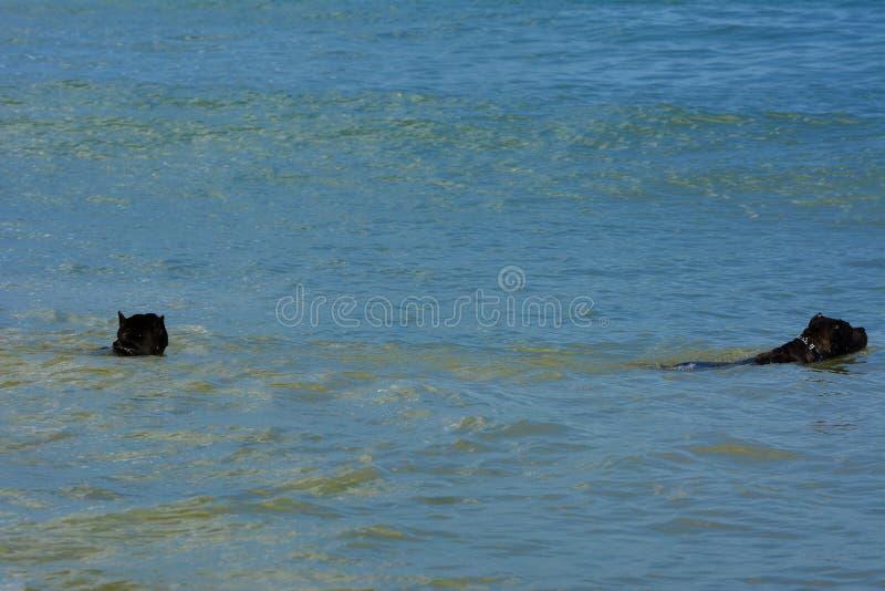 Download Rottweiler-Hund Im Wasser Auf Dem Strand, Der Mit Einem Spielzeug Spielt Stockfoto - Bild von hitze, strand: 96934196