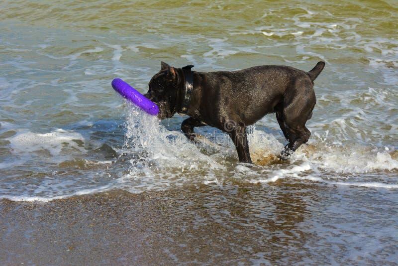 Download Rottweiler-Hund Im Wasser Auf Dem Strand, Der Mit Einem Spielzeug Spielt Stockfoto - Bild von hund, tiere: 96934228