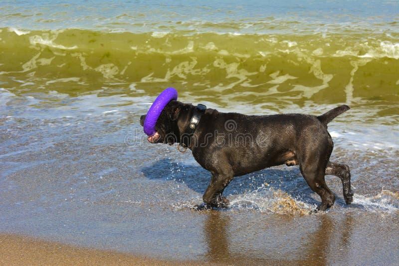 Download Rottweiler-Hund Im Wasser Auf Dem Strand, Der Mit Einem Spielzeug Spielt Stockbild - Bild von farbe, küstenlinie: 96934547
