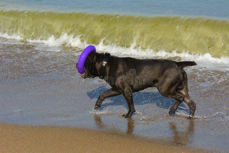 Download Rottweiler-Hund Im Wasser Auf Dem Strand, Der Mit Einem Spielzeug Spielt Stockfoto - Bild von strand, draußen: 96934598