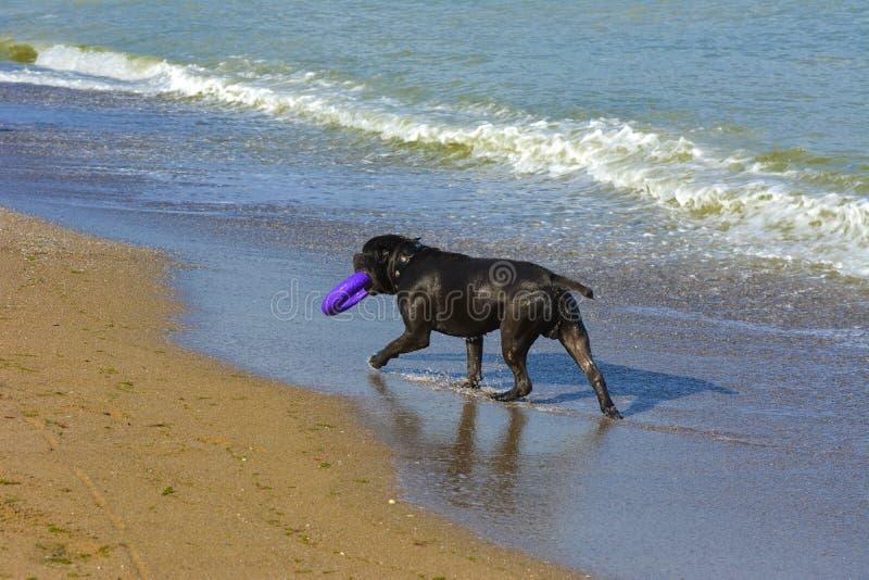 Download Rottweiler-Hund Im Wasser Auf Dem Strand, Der Mit Einem Spielzeug Spielt Stockbild - Bild von strand, freude: 96934675