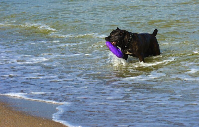 Download Rottweiler-Hund Im Wasser Auf Dem Strand, Der Mit Einem Spielzeug Spielt Stockfoto - Bild von nett, braun: 96934832
