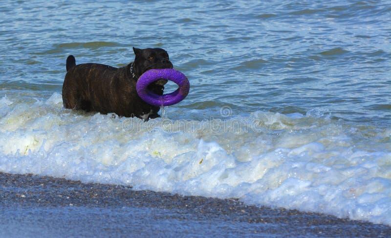 Download Rottweiler-Hund Im Wasser Auf Dem Strand, Der Mit Einem Spielzeug In T Spielt Stockbild - Bild von nett, spaß: 96935209