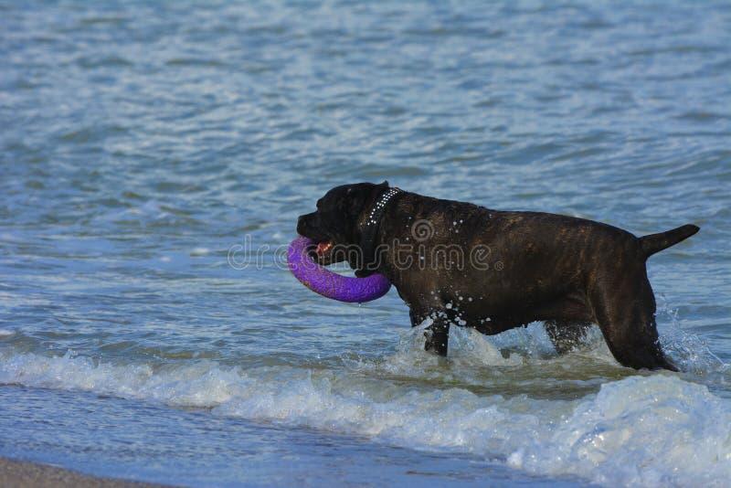 Download Rottweiler-Hund Im Wasser Auf Dem Strand, Der Mit Einem Spielzeug In T Spielt Stockbild - Bild von glück, strände: 96935311