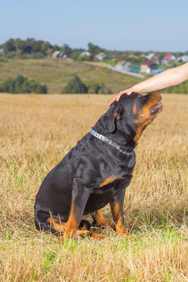 Rottweiler hund med husmorhanden arkivfoto
