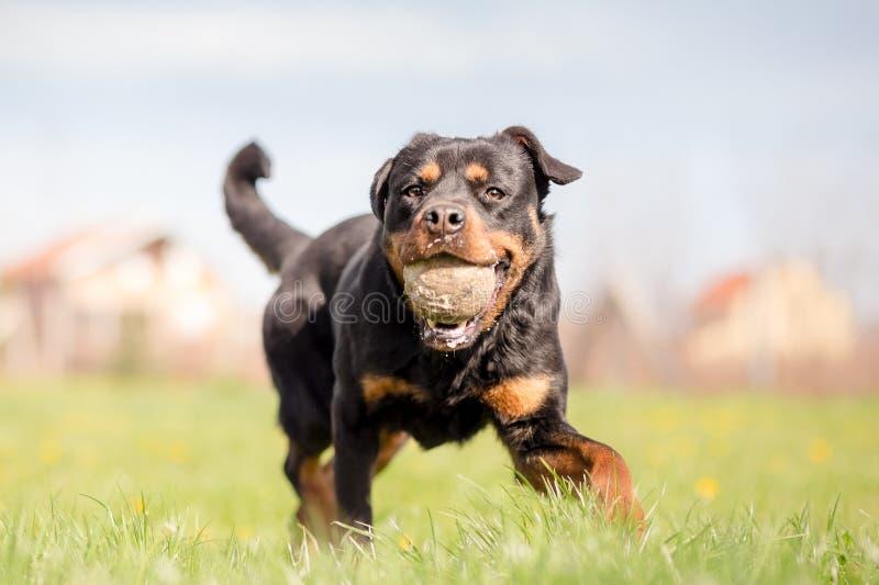 Rottweiler jouant l'effort images stock