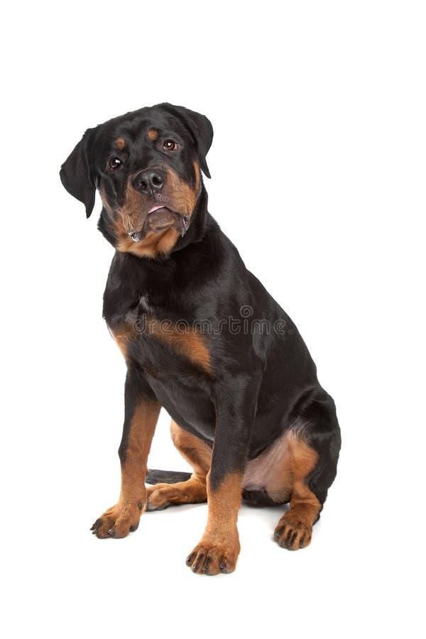 Rottweiler joven fotografía de archivo libre de regalías