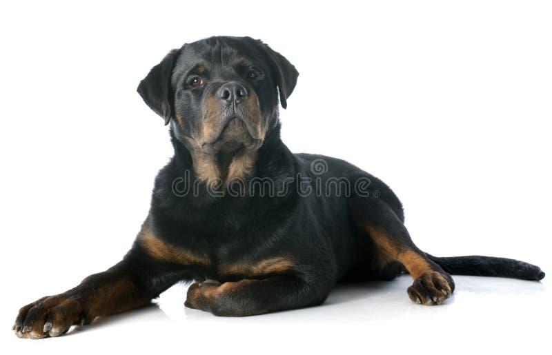 Rottweiler joven foto de archivo