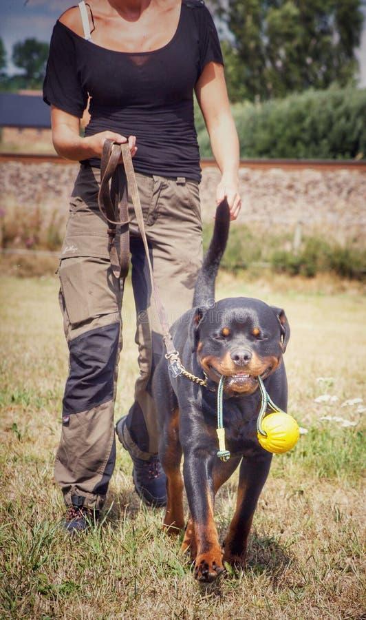 Rottweiler le workingdog photographie stock