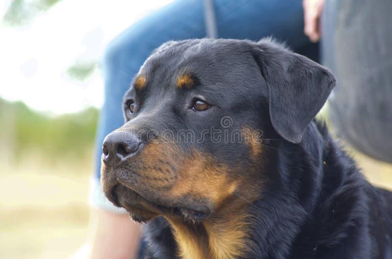 Rottweiler le workingdog image libre de droits