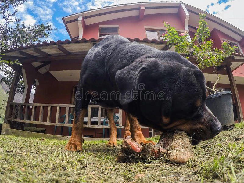 Rottweiler Male Dog Chewing A Big Bone royalty free stock photo