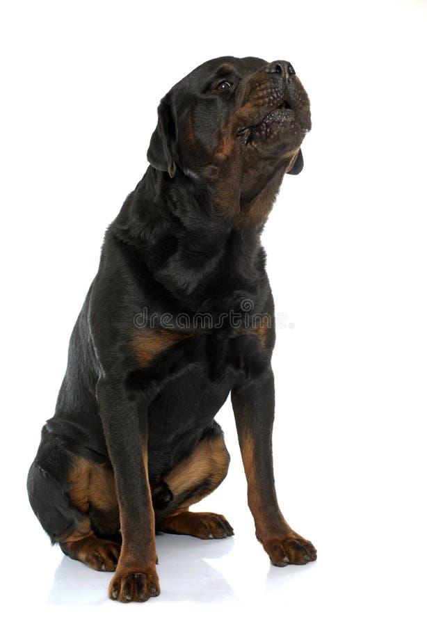 Rottweiler masculin de race photos stock