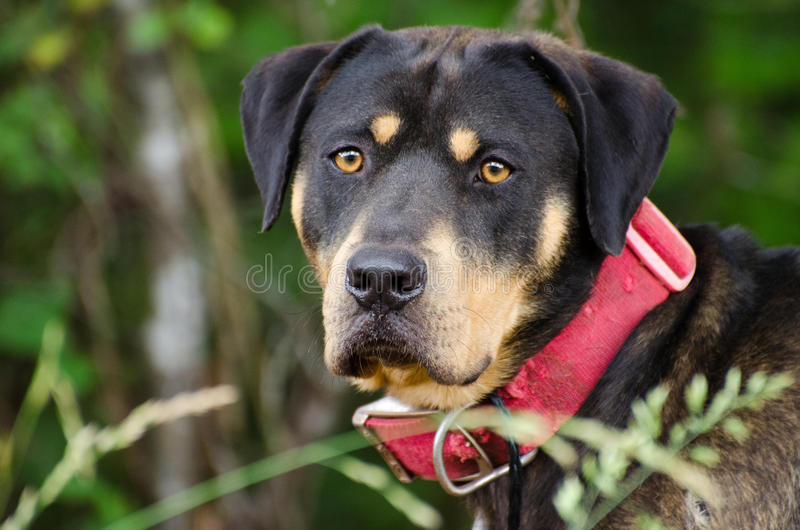 Rottweiler Mastiff Mixed Breed Dog. Walton County Animal Control, humane society adoption photo, outdoor pet photography stock images