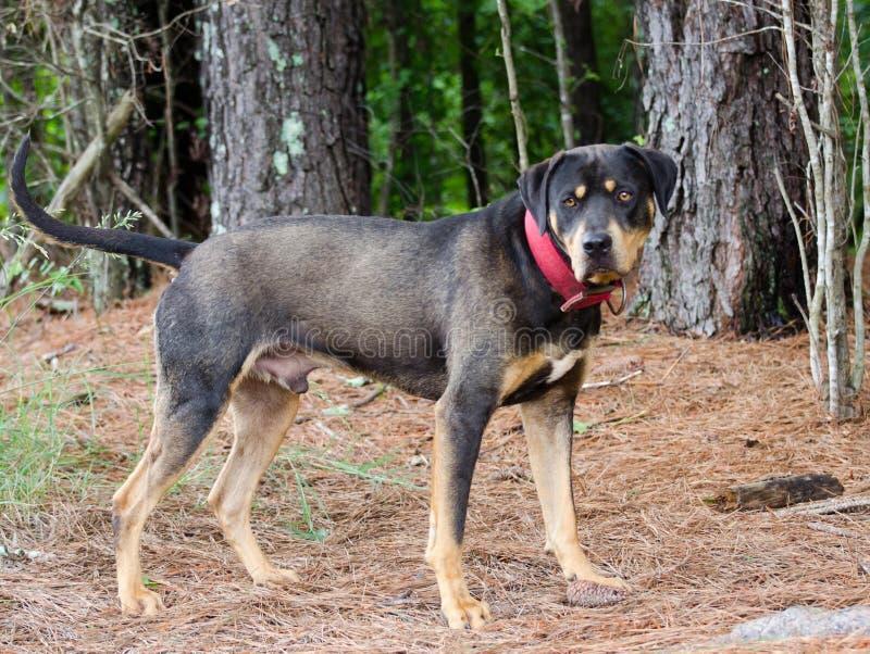 Rottweiler Mastiff Mixed Breed Dog. Walton County Animal Control, humane society adoption photo, outdoor pet photography stock photography
