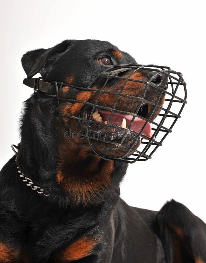Rottweiler mit Mündung lizenzfreie stockfotografie