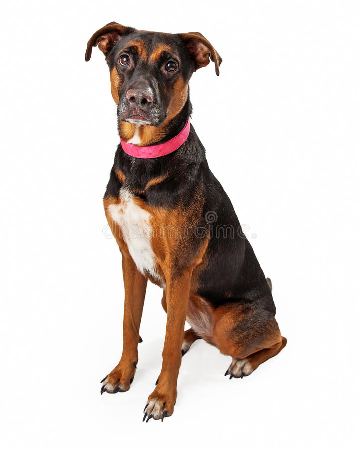 Rottweiler Mix Dog With Pink Collar Sitting. Rotweiller mixed breed dog wearing a pink collar sitting looking into the camera royalty free stock image