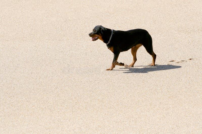 Rottweiler na areia fotografia de stock royalty free