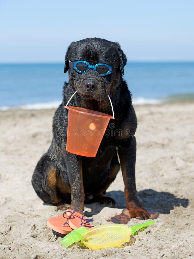 Rottweiler na plaży zdjęcie stock