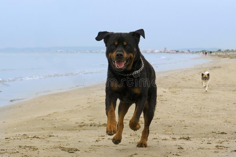 rottweiler plażowy bieg obrazy royalty free